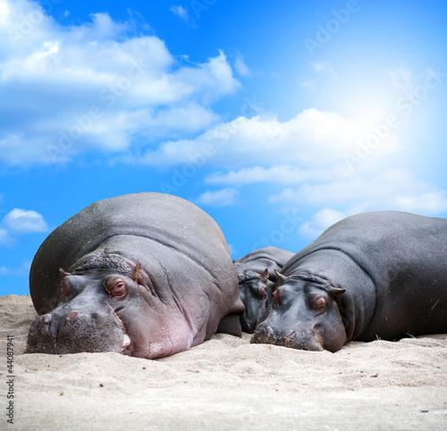 rodzina-hipopotamowa-siesta
