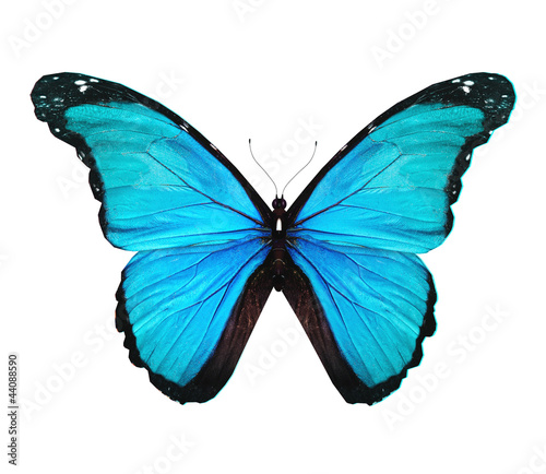 Fotografie, Obraz  Morpho turquoise butterfly , isolated on white