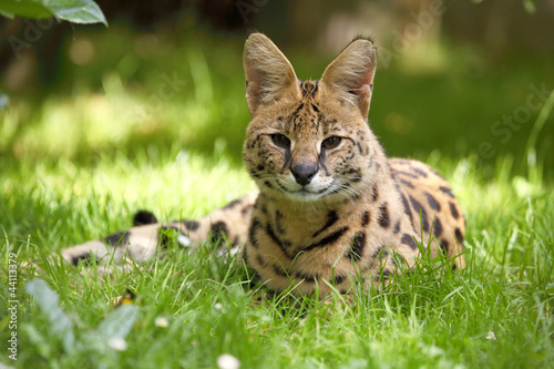 Fototapeta serval (Leptailurus serval)
