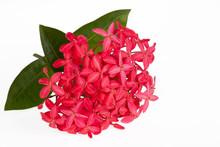 Pink Ixora Flower Isolated On White Background