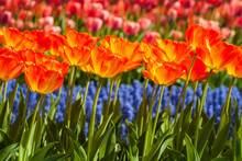 Rows Of Colorful Tulips And Gr...