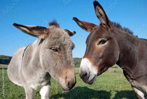 Foto auf Gartenposter Esel Esel und Muli