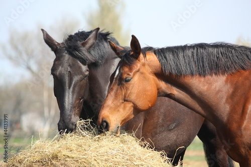 Photo  Two horses eating hay