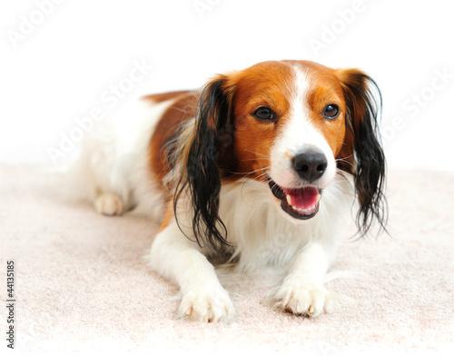 Fototapeta Kooikerhondje Dog Laying on Carpet Floor obraz na płótnie