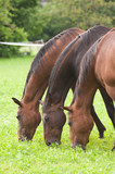 Fototapeta Konie - Pferde unzertrennbar