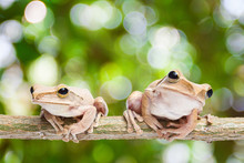 Two, Frog On Green Bokeh Backg...