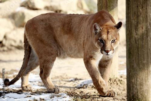Poster Puma Puma ( felis concolor)