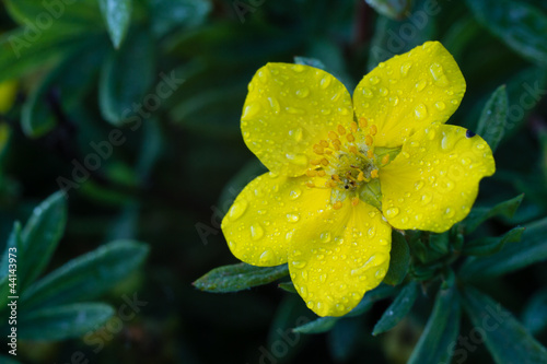 фотография  Photo of garden flowers cinquefoil