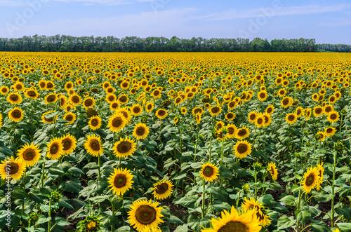 In de dag Zonnebloem The field of blooming sunflowers