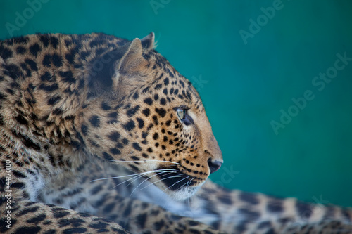 Poster Luipaard Leopard
