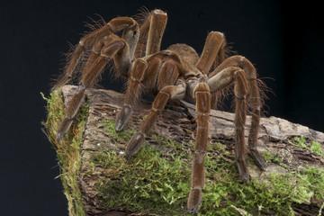 Goliath tarantula / Theraphosa lablondi