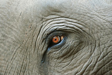 Elephant Eye With A Tear, Detail
