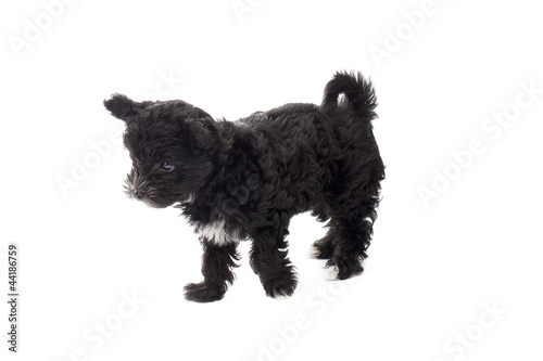 Tuinposter Panter black puppy standing alone