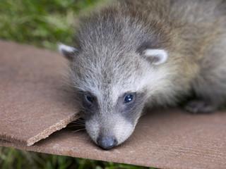 six week old baby racoon