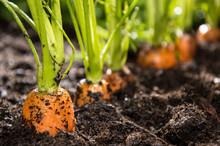 Macro Shot Of Carrots In Dirt