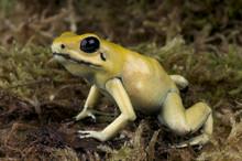 Golden Poison Frog / Phyllobates Terribilis
