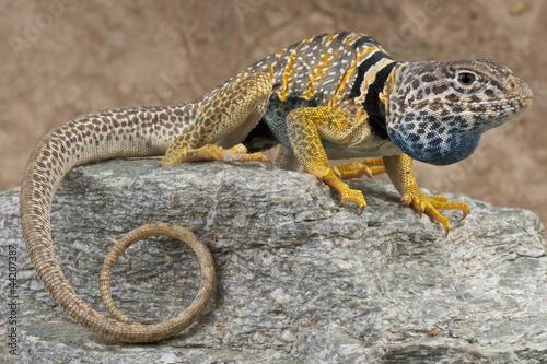 Collared lizard / Crotaphytus bicinctores Poster
