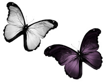 Two Black White Butterfly Flying, Isolated On White