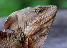 Large Lizard, The Common Basilisk Lizard, Basiliscus Basiliscus