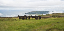 Wild Ponies On Top Of Porlock ...