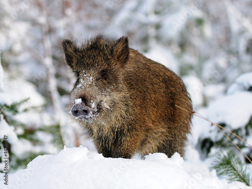 Wildschwein, Winter