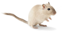 Isolated Mouse Pet. Cute Little Gerbil Isolated On White Background