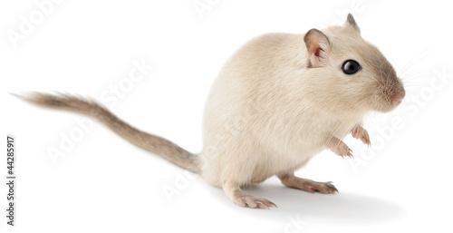 Fotografie, Obraz  Isolated mouse pet