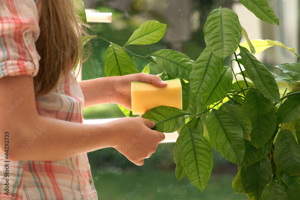Fototapeta Plant care - wash leaves
