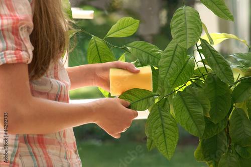Fototapeta Plant care - wash leaves obraz