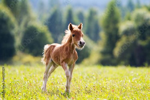 Leinwand Poster foal mini horse Falabella