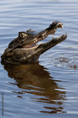 Poster Crocodile Brown Caiman