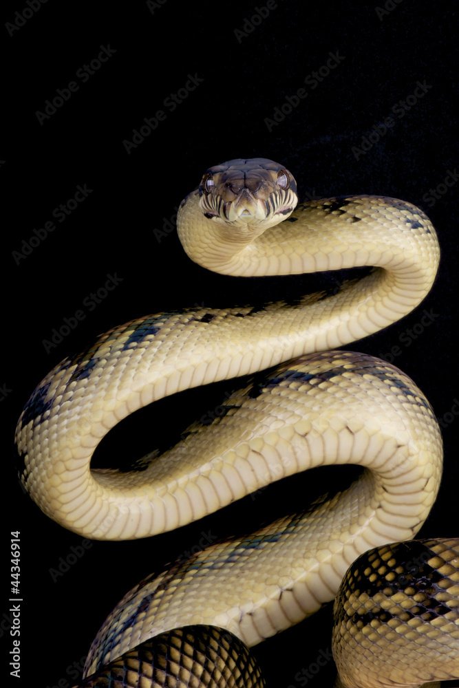 Scrub python / Morelia amethistina Foto, Poster, Wandbilder bei ...