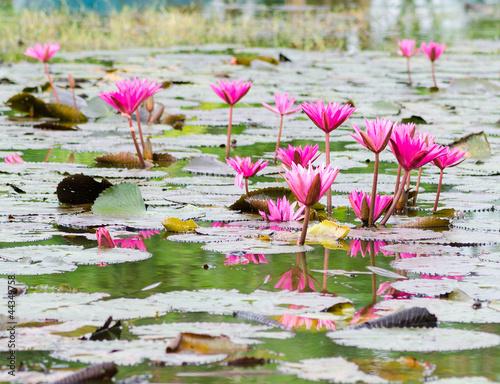 Foto  pink lotus blossom
