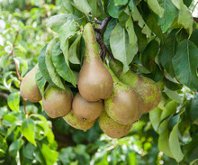 Closeup Of Tasty Pears Hanging...
