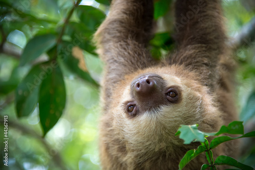 Fotografia  Two-toed sloth