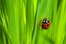 Cute Ladybug On The Grass