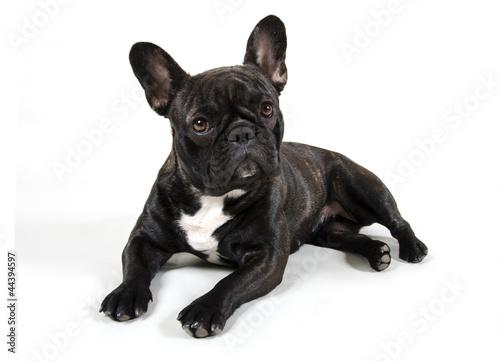 Staande foto Franse bulldog Paula 1