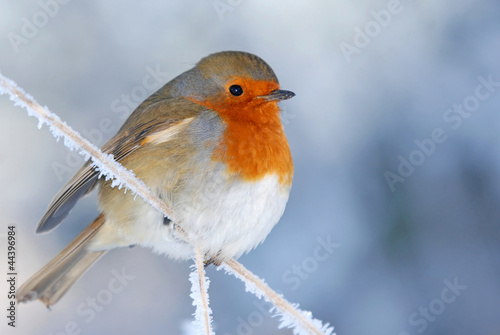 Photo  Christmas Robin