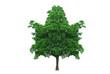 maple leaf shape tree