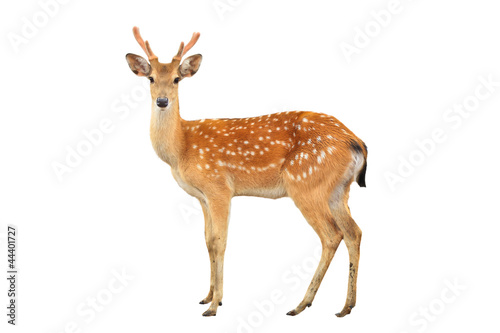 Poster de jardin Cerf sika deer isolated on white background