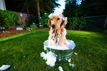 Golden Retriever Dog Getting A Bath