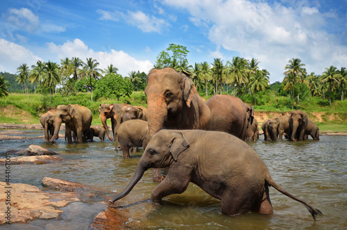 Photo  Elephants in the river
