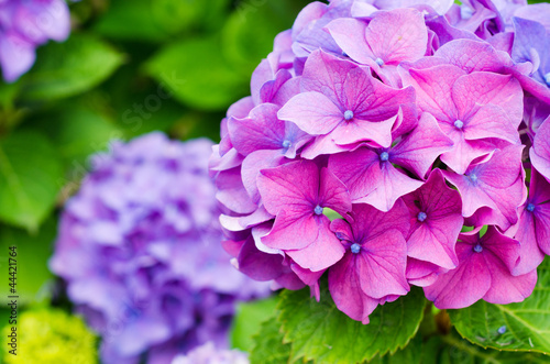 Cadres-photo bureau Hortensia Hydrangeas detail