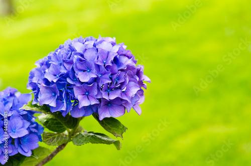 Wall Murals Hydrangea Purple flower and green
