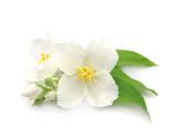 White flowers of jasmine