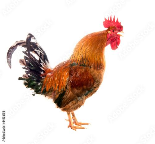 Obraz na płótnie Screaming cock. isolated