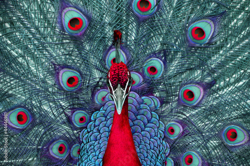 Photo sur Aluminium Paon peacock 3