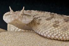 Saharan Horned Viper / Ceraste...