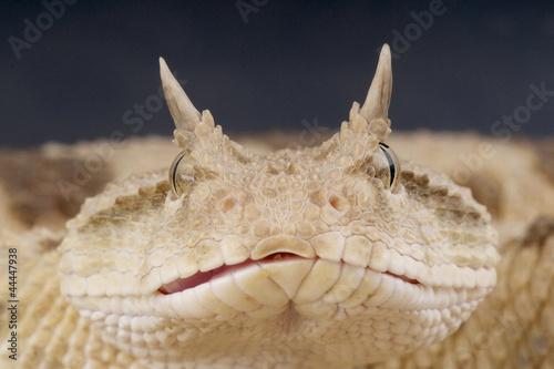 Foto-Flächenvorhang ohne Schienensystem - Saharan horned viper / Cerastes cerastes (von mgkuijpers)