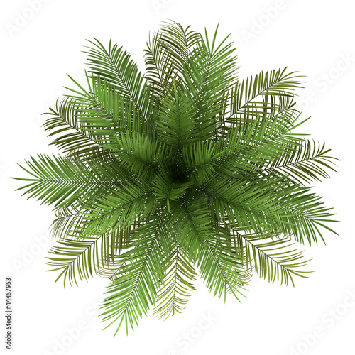 Canvas Prints Palm tree top view of date palm tree isolated on white background